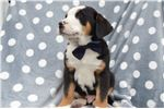 Picture of Greater Swiss Mountain Dog