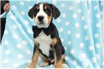 Picture of Greater Swiss Mountain Dog Boots