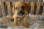Picture of puggle -Elieen