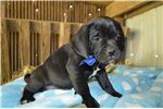 Picture of puggle - Smoky