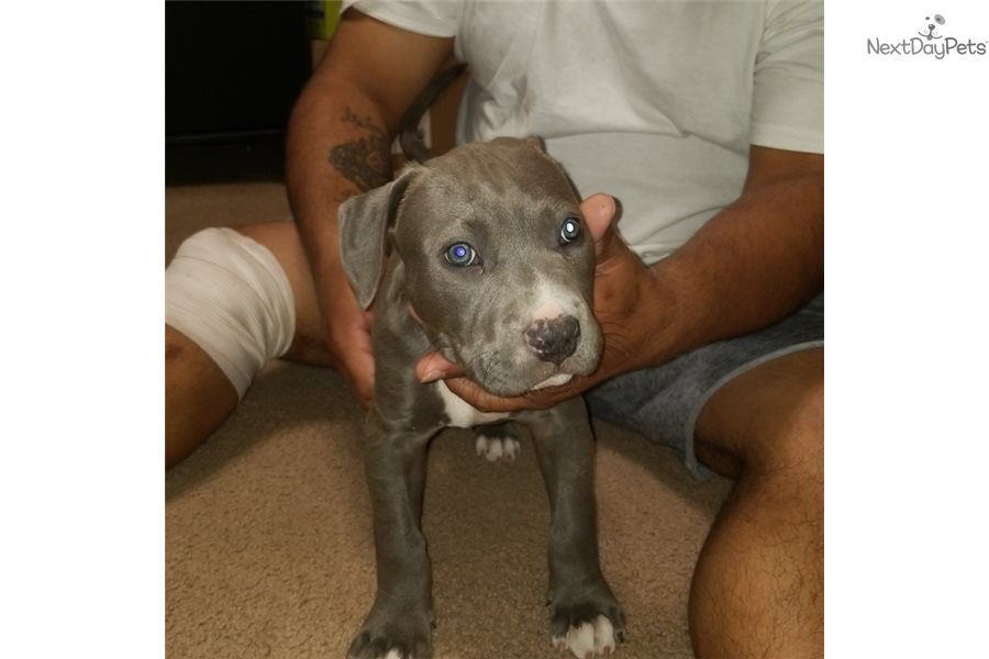 Exodus: American Pit Bull Terrier puppy for sale near ...