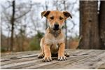 Picture of UKC Carolina Dog