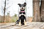Picture of Nickle- UKC Carolina Dog PUPPY
