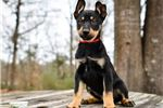 Picture of Argon - Carolina Dog Puppy