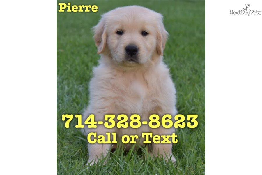 Pierre Golden Retriever Puppy For Sale Near Orange County