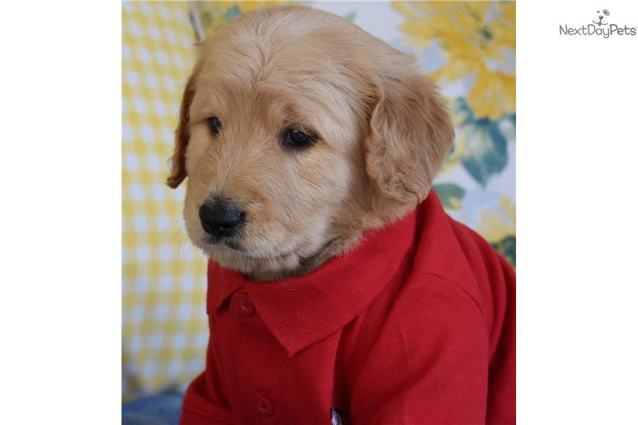 Eli Goldendoodle Puppy For Sale Near Orange County