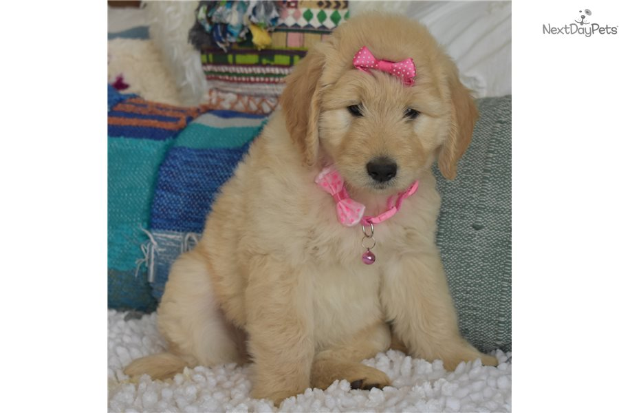 Princess : Goldendoodle puppy for sale near Orange County