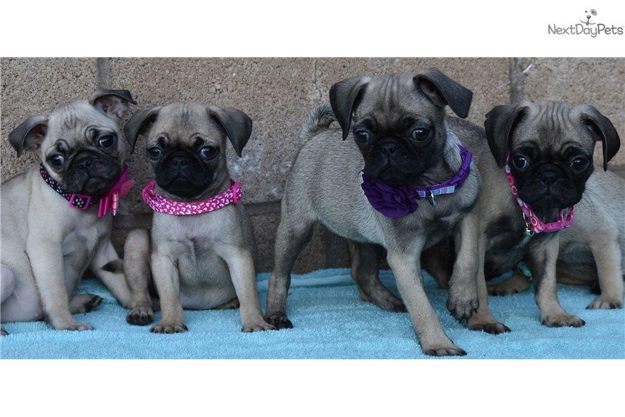Beautiful Pugs : Pug puppy for sale near San Diego