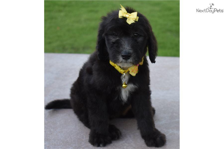 Ciara Sheepadoodle Puppy For Sale Near Orange County California
