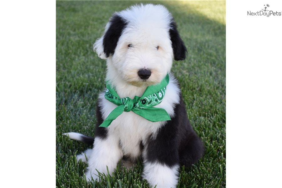 Bubba : Sheepadoodle puppy for sale near Orange County, California