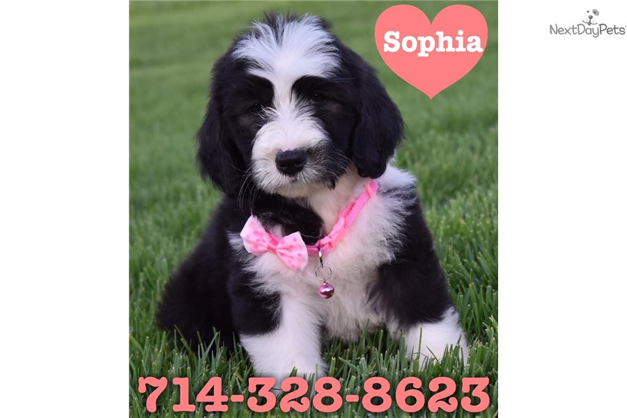Sheepadoodle For Sale / Peopleforcarlandrews
