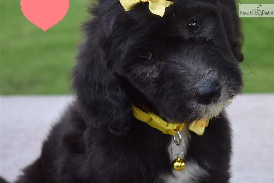 Ciara : Sheepadoodle puppy for sale near Orange County, California
