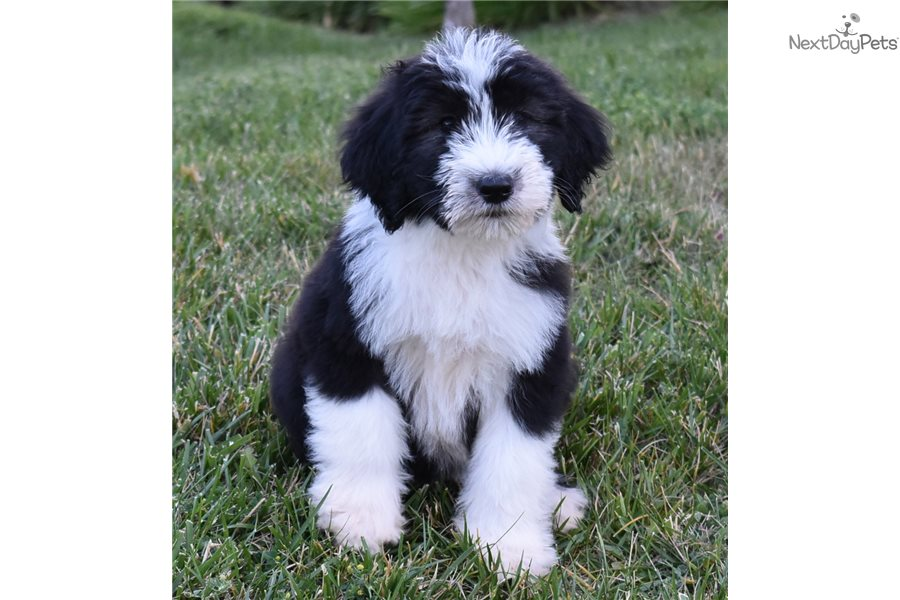 Chloe : Sheepadoodle puppy for sale near Orange County