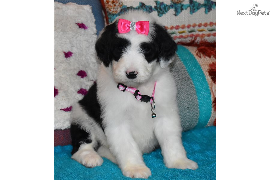 Lyric : Sheepadoodle puppy for sale near Orange County