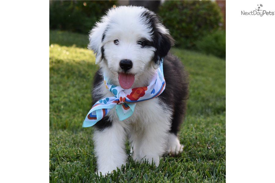 Bradley Sheepadoodle Puppy For Sale Near Orange County