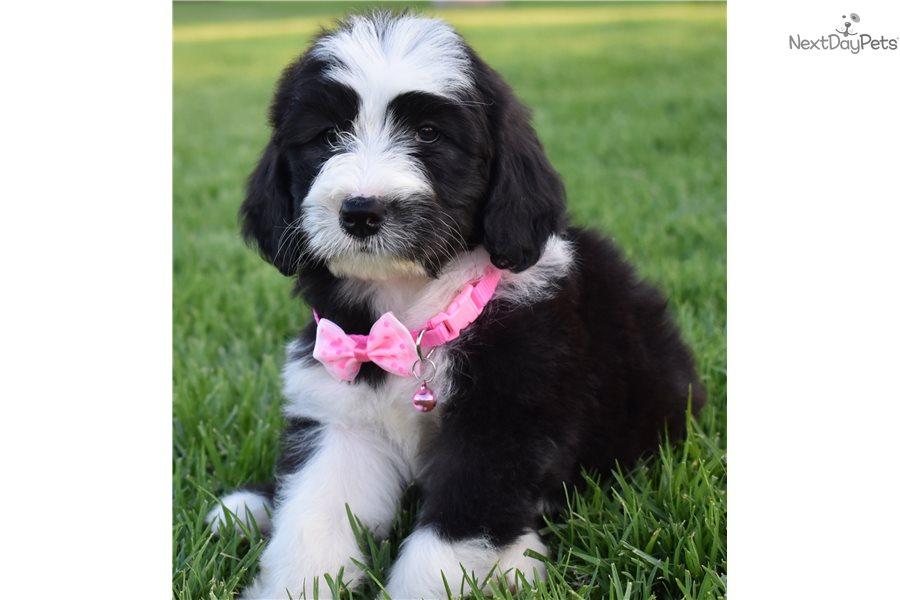 Sophia : Sheepadoodle puppy for sale near Orange County, California