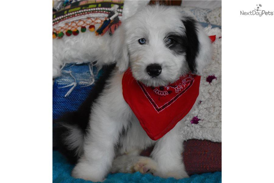 Blu : Sheepadoodle puppy for sale near Orange County