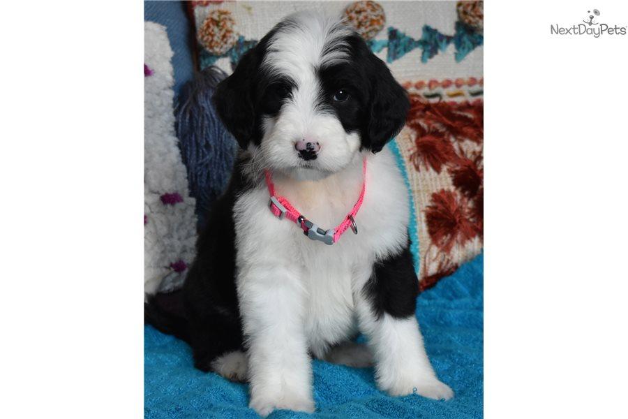 Paris : Sheepadoodle puppy for sale near Orange County, California