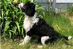 Picture of Lucy - F1 Bordoodle