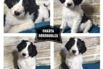 Bordoodles for sale