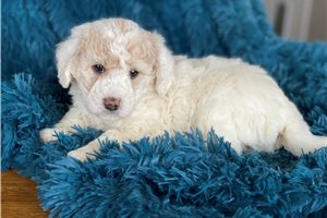 Picture of a Bordoodle Puppy