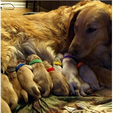 View full profile for Wireman Golden Retrievers