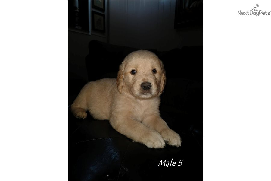 Male 5 Golden Retriever Puppy For Sale Near Cincinnati Ohio