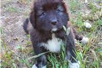 Featured Breeder of Caucasian Mountain Dogs with Puppies For Sale