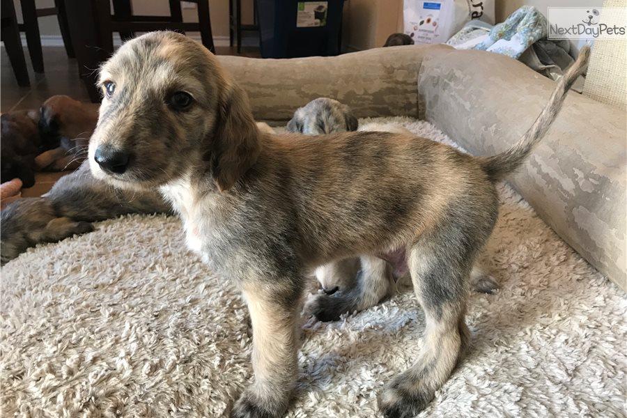 Tennin Afghan Hound Puppy For Sale Near San Antonio