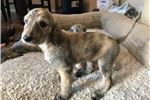 Picture of AKC Afghan Hound Puppy
