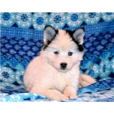 View full profile for Snowoof Pomskies