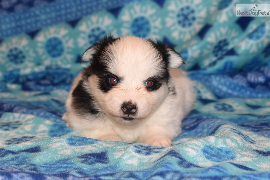 Pomsky puppy for sale near Las Cruces, New Mexico ...