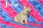Picture of a French Bulldog Puppy