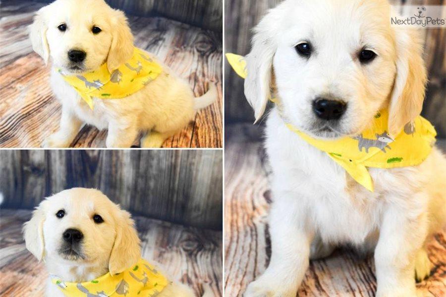English Golden Retriever Puppy For Sale Near Western Slope Colorado