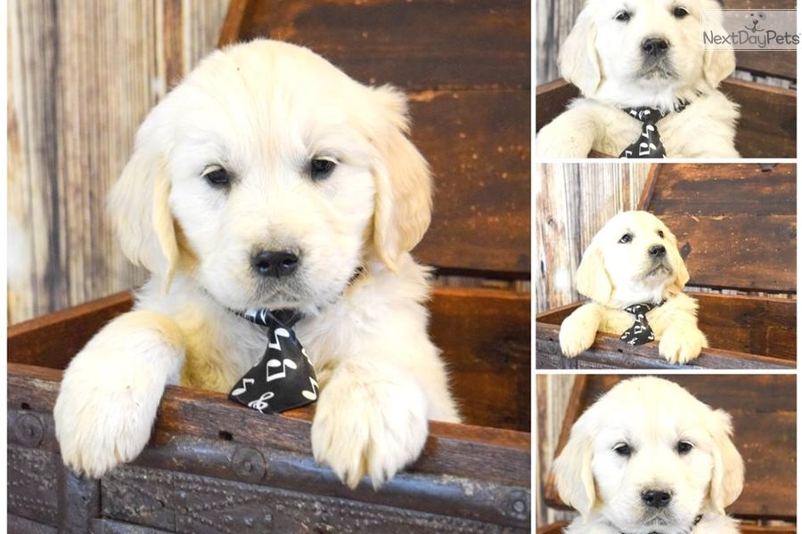Golden Retriever puppy for sale near Western Slope, Colorado