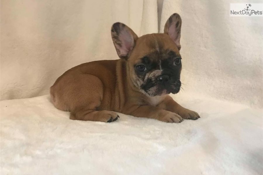 French Bulldog Puppy For Sale Near Chicago Illinois 71822e53 6701