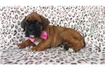 Picture of AKC Boxer Puppies