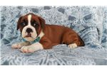 Picture of AKC Boxer Puppy