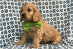 Picture of First Generation Male Cockapoo