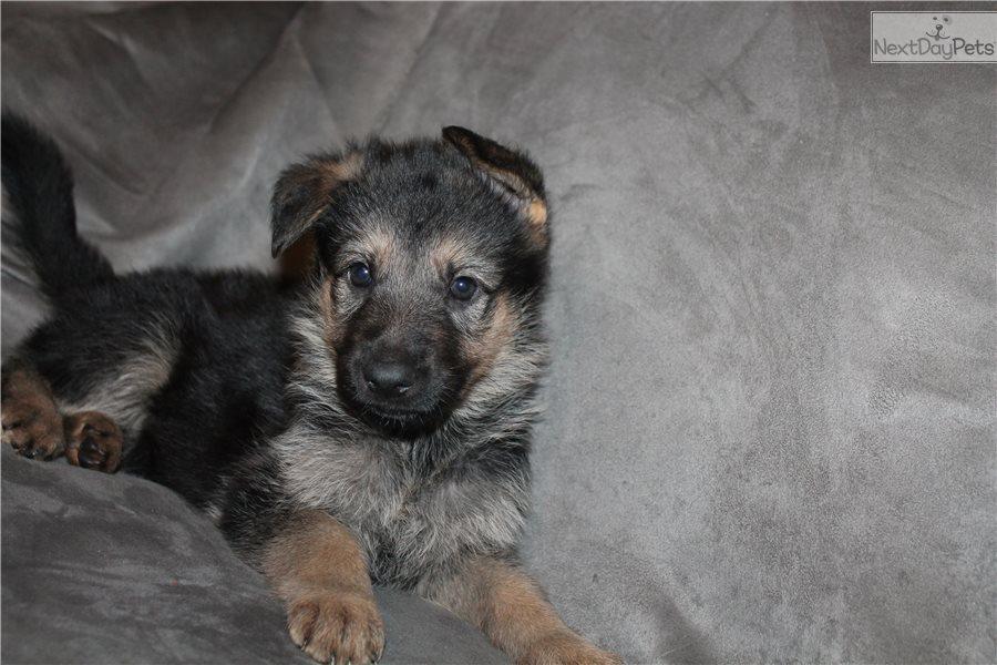 German Shepherd Puppies For Sale West Palm Beach