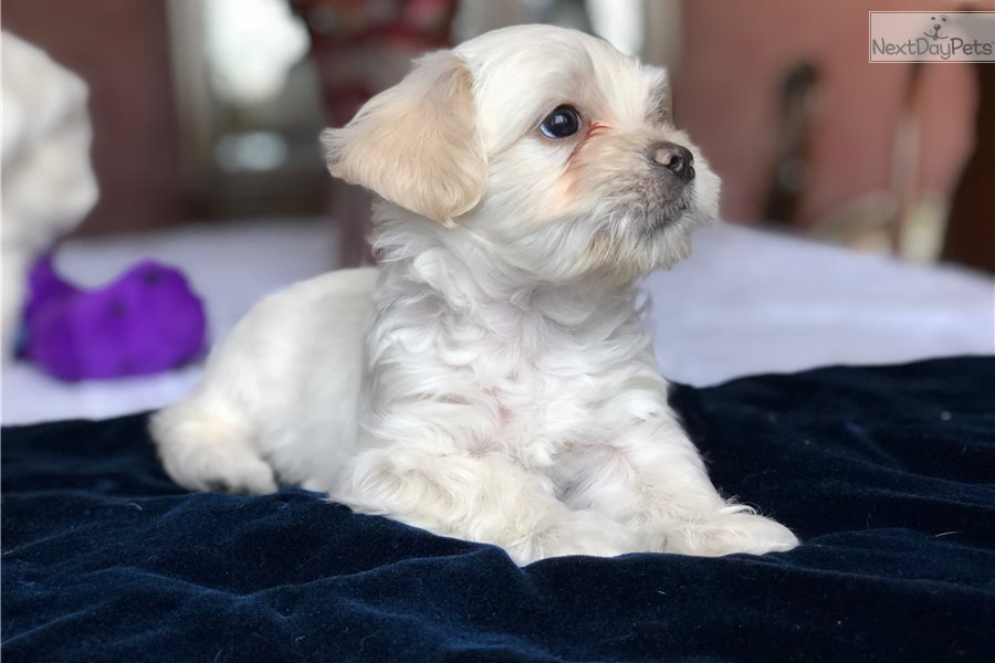 Sam Havanese Puppy For Sale Near Dallas Fort Worth Texas