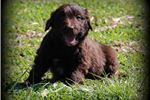 Picture of Beautiful Chocolate Bordoodle Male