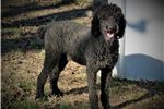 Picture of Handsome Black Phantom Bordoodle Puppy