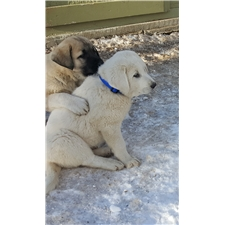 View full profile for Good Shepherd Livestock Guardians
