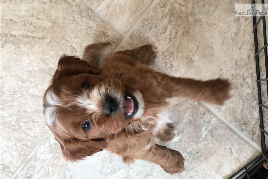 dgicdplf3pvka cloudfront net/2550436/cavapoo-puppy