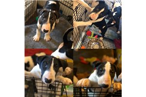 Picture of Bull Terriers
