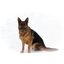 View full profile for Kesler's German Shepherds