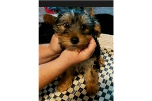 Picture of Yorkie