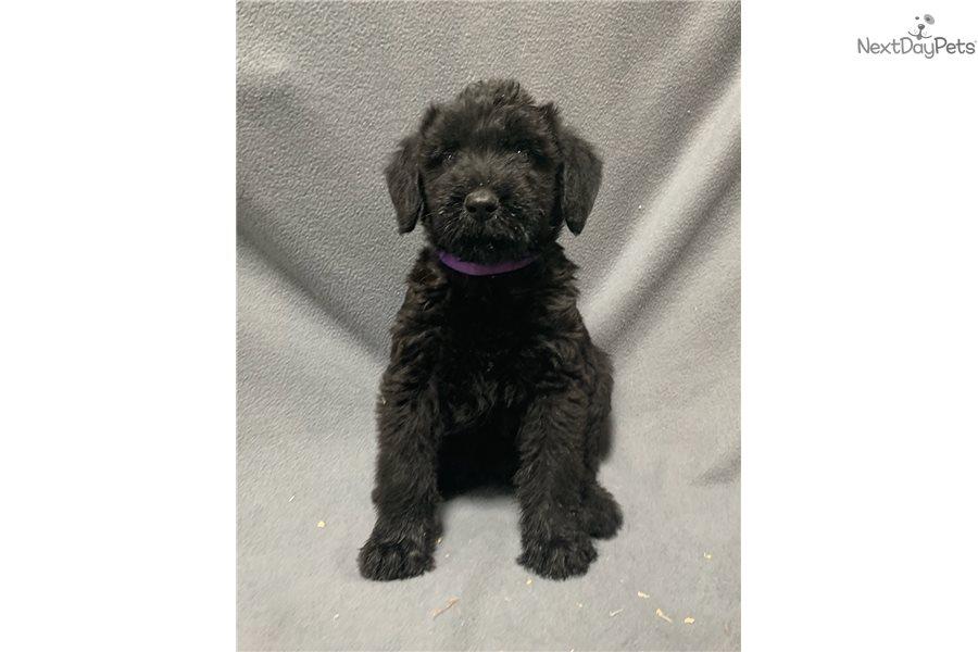 Shadow Schnauzer Giant Puppy For Sale Near Kansas City