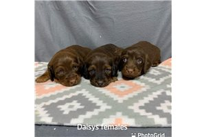 Picture of Daisy females
